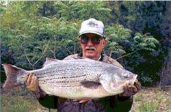 World Record Hybrid Striped Bass