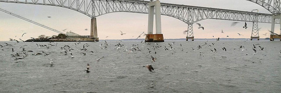 Birds Working a Scool of Striped Bass Near the Chesapeake Bay-Bridge Tunnel