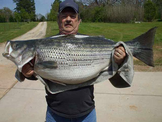 63 Pound Freshwater Striped Bass