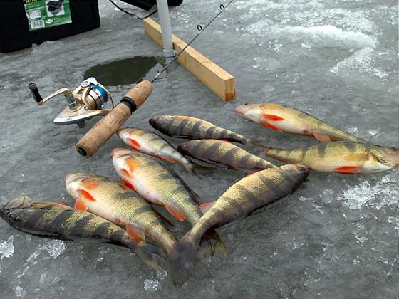 Yellow perch fishing for Ice fishing perch